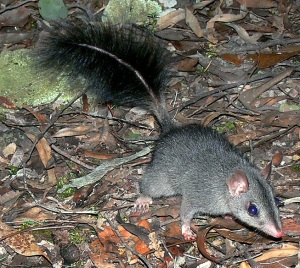 Brush tailed phascogale