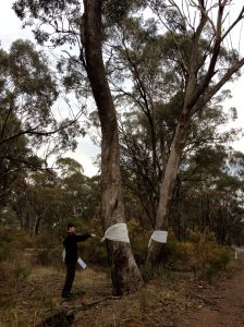 Marking trees which will be cleared by VicRoads with white bandages. This is a quick, inexpensive and easy way to show the fated trees. VicRoads only marks them with a small dot at the base of the tree. Rushworth. Image: RAGE.